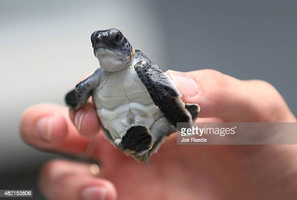 A green turtle is held as marine turtle specialists prepare to release the more than 570 baby sea turtles including the Loggerhead and Green turtles...