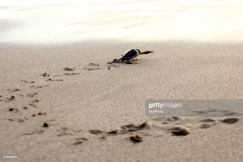 Indonesian Turtle Population Declines