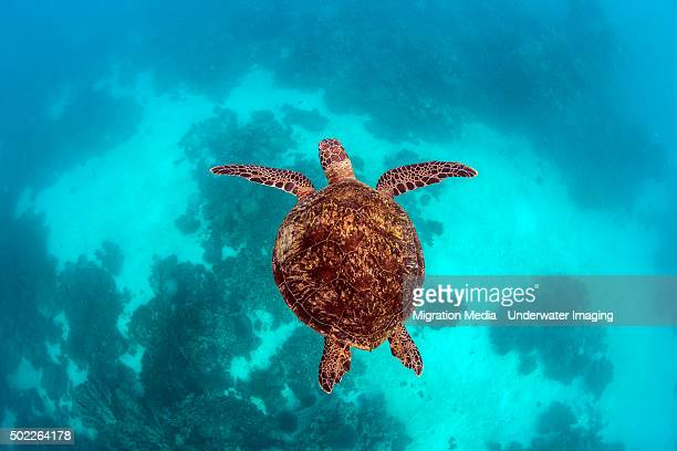 green turtle on blue