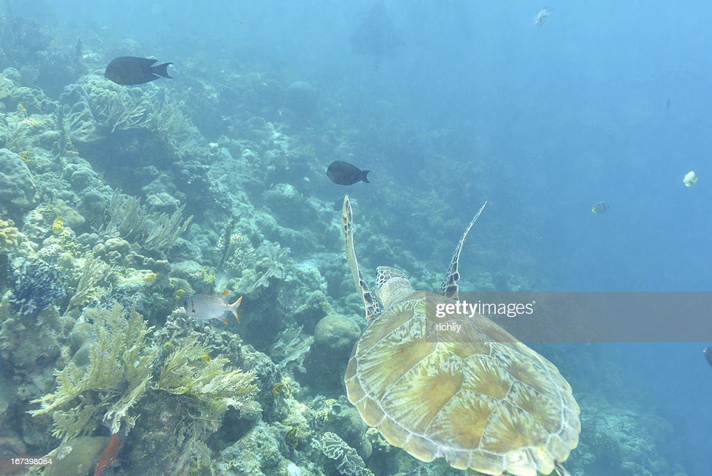 Green turtle : Stock Photo
