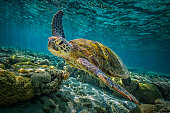 A green turtle swims through the pristine waters of the Great Barrier Reef in Queensland, Australia