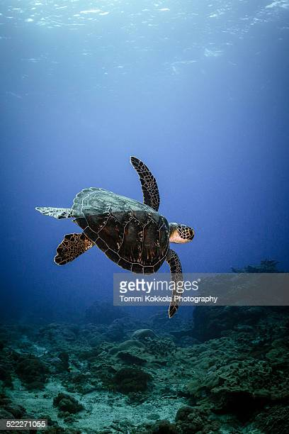 Green Turtle (Chelonia mydas) swimming at Taiwan