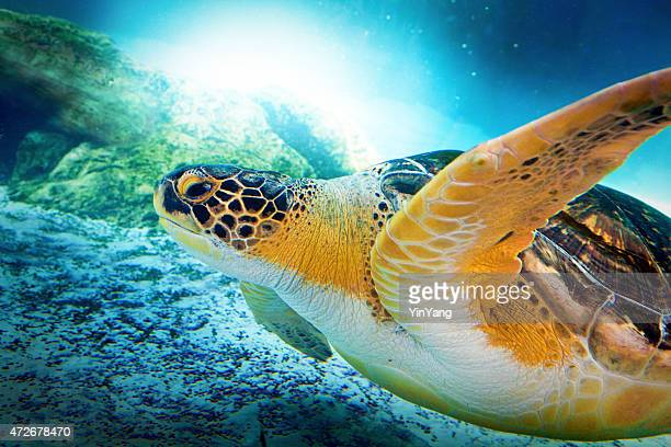 Green Turtle Swimming, Close-up Profile Portrait