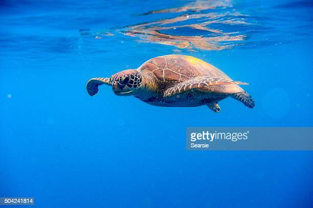 Green turtle swimming near water surface