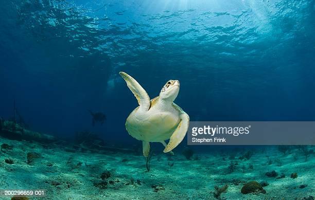 Green turtle (Chelonia mydas) swimming through water