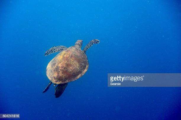 Green turtle swimming up