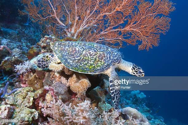 Green turtle (Chelonia mydas) underwater view