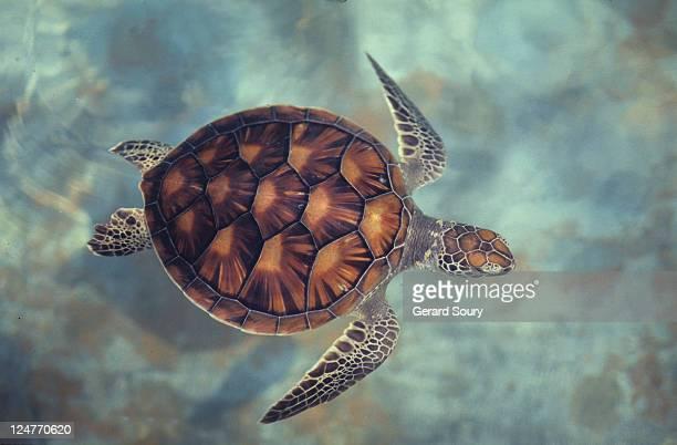 green turtle,chelonia mydas, java, indonesia, indian ocean