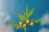 Closeup of green twig of thuja the cypress family with 4 seed heads with a blue sky background with some white clouds