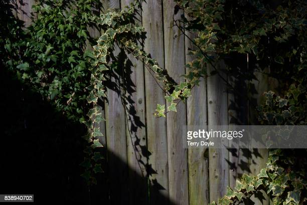 green vine growing on a wood fence