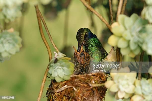 Green violet-ear hummingbird feeding chick in nest