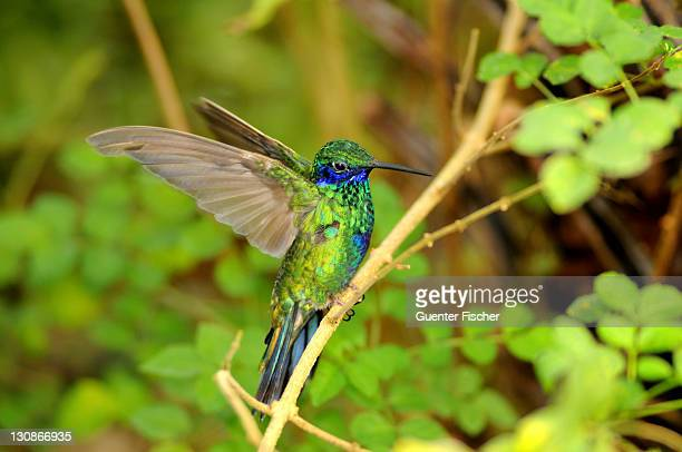 Green Violet-ear hummingbird (Colibri thalassinus) perched on a branch