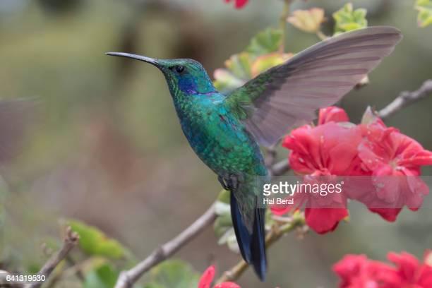 Green Violetear Hummngbird flying