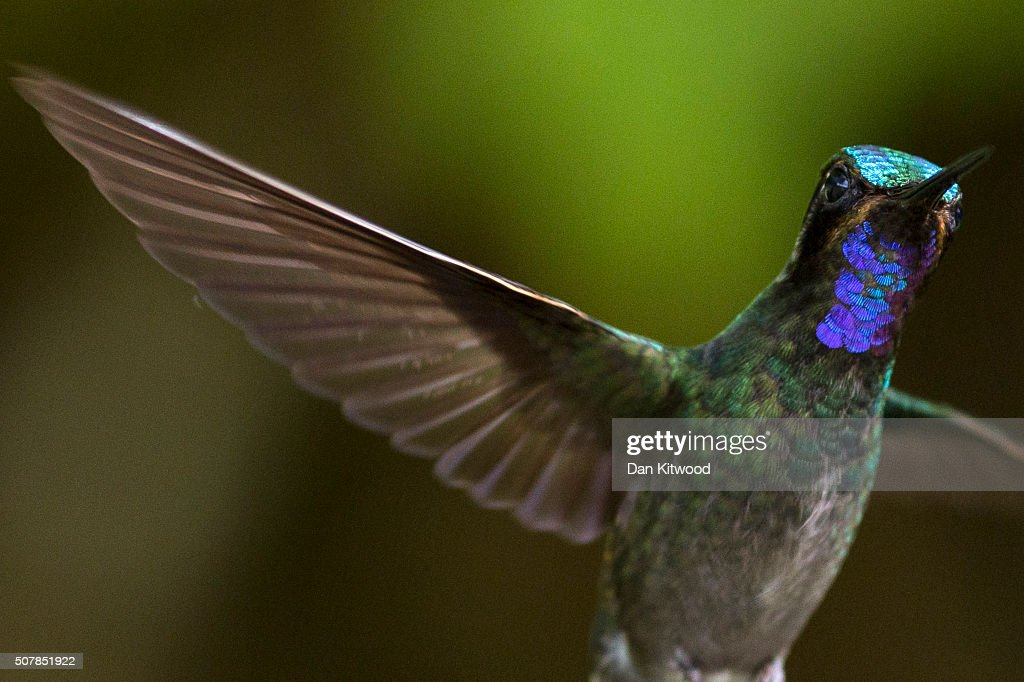 A Green Violetear is pictured at a Hummingbird feeding station on January 07, 2016 in Monteverde Costa Rica. Of the 338 known species of Hummingbird worldwide there are around 50 in Costa Rica. Hummingbirds are named for the distinctive sound made by their tiny beating wings, and are admired for their vibrantly coloured iridescent plumage. Their ability to hover, with wings beating between 12 and 90 times a second, and to fly backwards makes them different from all other birds. They are some of the smallest birds in the world and have the highest metabolic rate of any bird with a heart rate that can exceed 1,200 beats a minute. They can hear and see better than humans, but have a poor sense of smell. Hummingbirds eat at least half their body weight in food every day, darting between flowers to lap up nectar. They are generally solitary, very territorial and can be incredibly aggressive towards other birds. At night they go into a state of torpor to help conserve energy, and occasionally can be found sleeping upside down like bats on branches.