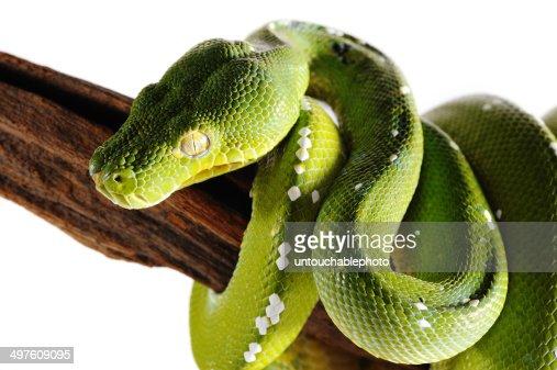 Green viper python snake branch isolation