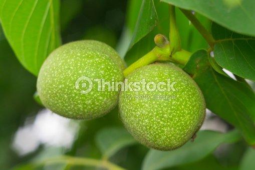 green walnuts on the tree foto de stock thinkstock