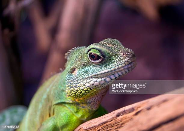 Green Water Dragon