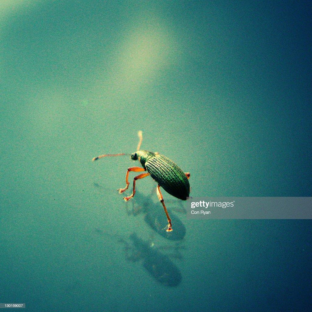 Green weevil bugs