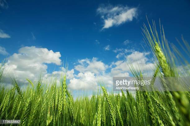 green wheat field against cloudy sky