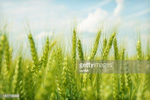 Green wheat field swaying in the breeze under a blue sky