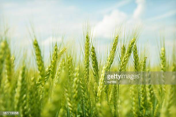 Green wheat field swaying in the breeze under a blue sky