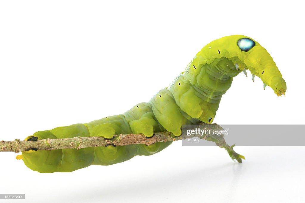 Verde Minhoca : Foto de stock