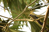 Green-billed-malkoha birds are pecking worms on trees.
