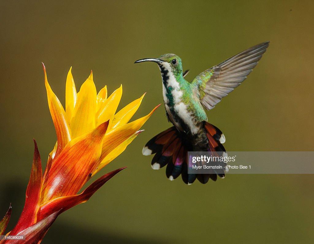 Green-breasted Mango -female-