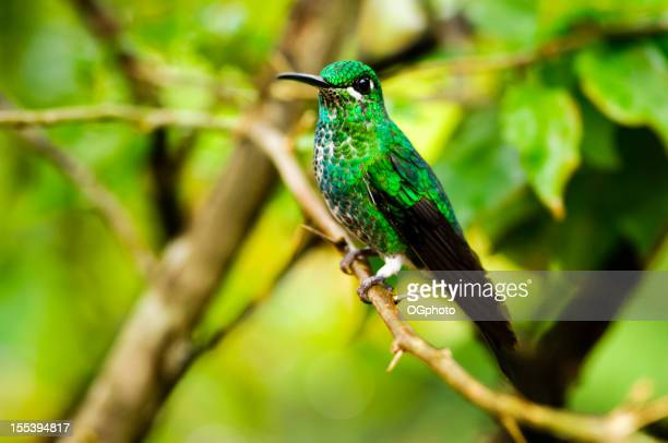 Green-crowned Brilliant Hummingbird (female) in Costa Rica