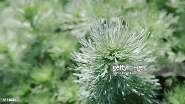 Greenery Pine