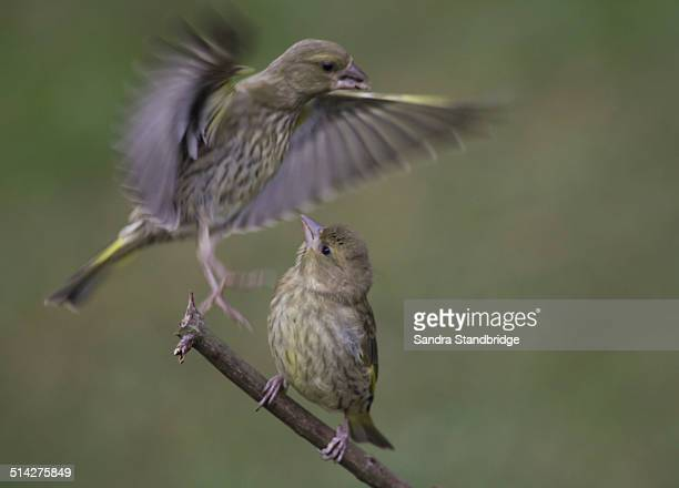 A Greenfinch baby flying in to perch with another.