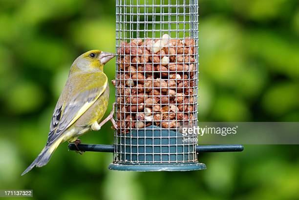 Greenfinch feeding on peanut feeder