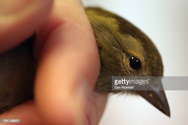 Greenfinch is held after being ringed by British Trust for Ornithology volunteers at Spurn Point coastal reserve on October 11 2012 in Spurn Head...