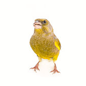 Greenfinch isolated on a white background. Male European Greenfinch (carduelis chloris).