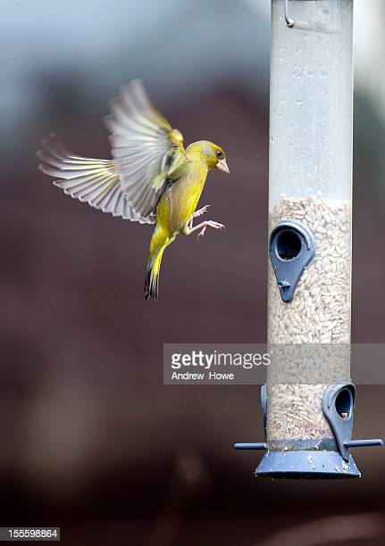 Greenfinch Landing