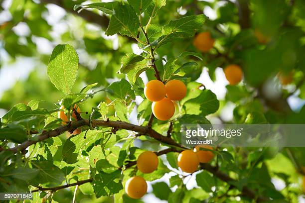 Greengages in tree