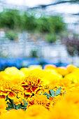 Serre, des fleurs en floraison