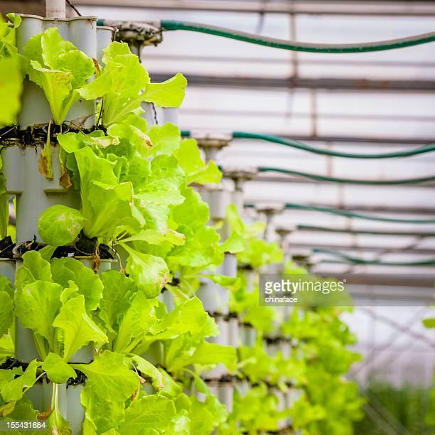 Greenhouse (Lettuce farm)