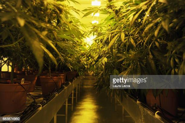 A greenhouse with cannabis produced by the Italian Army at Stabilimento Chimico Farmaceutico Militare is displayed on May 16 2017 in Florence Italy...