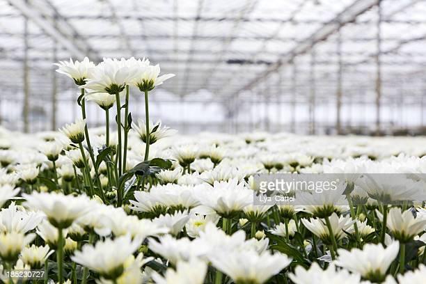 Greenhouse # 34 XXL