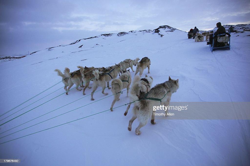 Greenland huskies pull dog sled in Ilulissat : Stock Photo