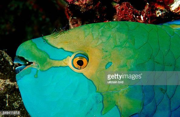 Greentroat parrotfish Scarus prasiognathos Thailand Indian Ocean Phuket Similan Islands Andaman Sea