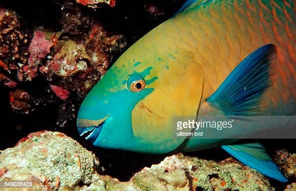 Greentroat parrotfishes Scarus prasiognathos Sudan Africa Red Sea