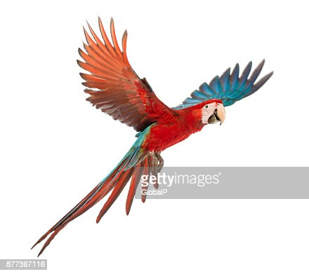Green-winged Macaw, Ara chloropterus, 1 year old, flying in front of white background : Stock Photo