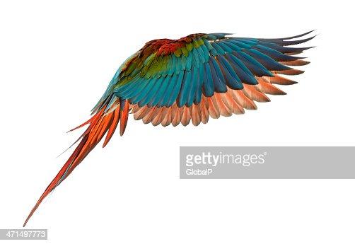 Green-winged Macaw, Ara chloropterus, 1 year old, flying : Stock Photo