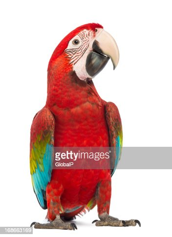 Green-winged Macaw, Ara chloropterus, in front of white background : Stock Photo
