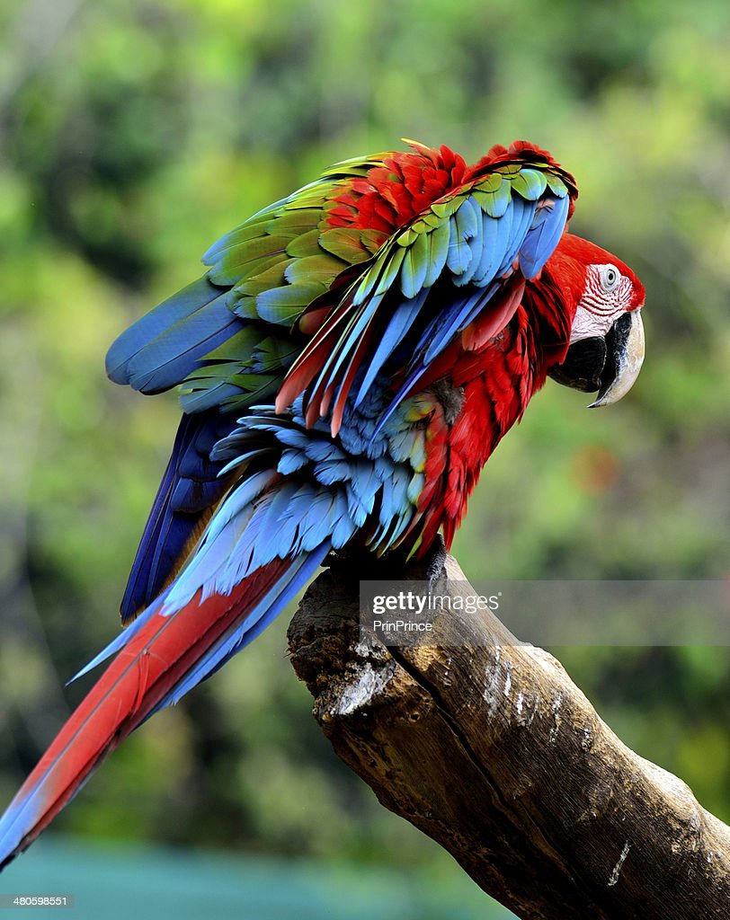 Green-winged Macaw bird with flubby feathers : Stock Photo