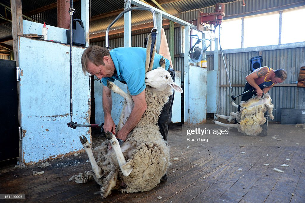 Greg Muir, left, and son Shane Muir shear Border Leicester sheep at a shearing shed near Lancefield, Australia, on Friday, Feb. 8, 2013. There is scope for considerable volatility in wool prices, given the uncertain global economic and financial backdrop, National Australia Bank said in an e-mailed report on Jan. 25. Photographer: Carla Gottgens/Bloomberg via Getty Images