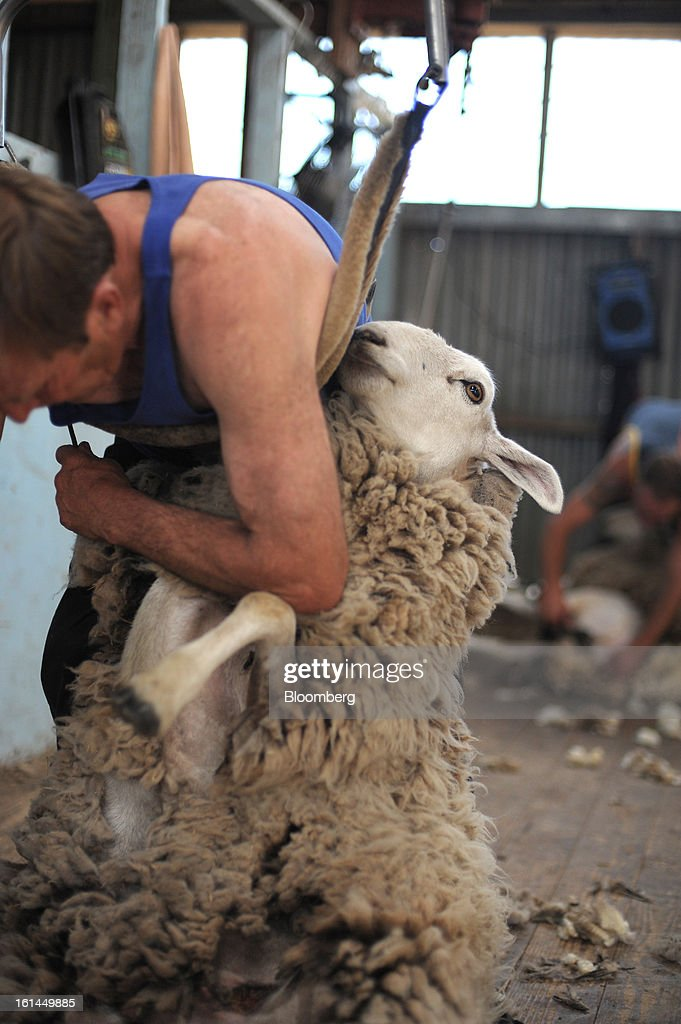 Greg Muir shears a Border Leicester sheep in a shearing shed near Lancefield, Australia, on Friday, Feb. 8, 2013. There is scope for considerable volatility in wool prices, given the uncertain global economic and financial backdrop, National Australia Bank said in an e-mailed report on Jan. 25. Photographer: Carla Gottgens/Bloomberg via Getty Images