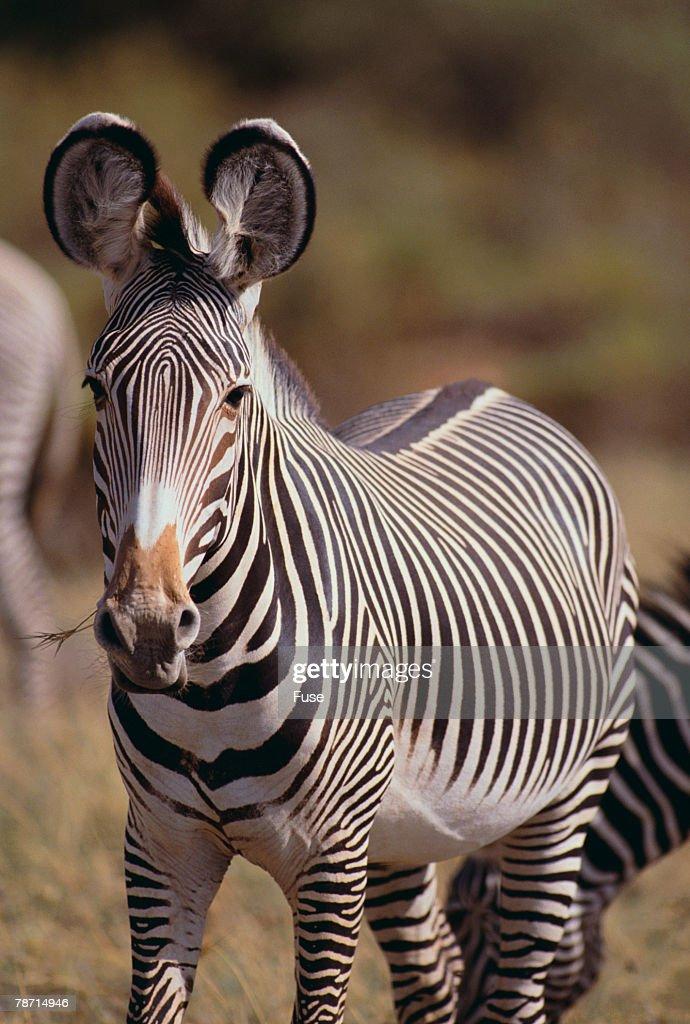 Grevy s Zebra : Stock Photo